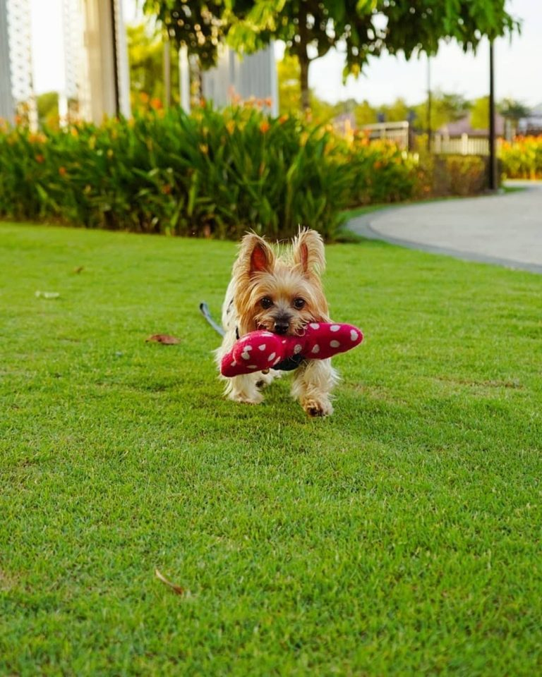 Are Silky Terriers Smart?