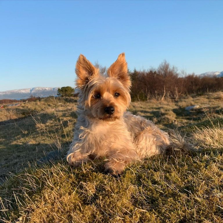 Are Silky Terriers Good Family Dogs?