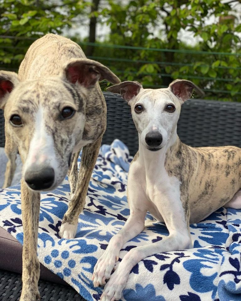 Do Whippets Like to Cuddle? (9 Tips to Improve Bonding)