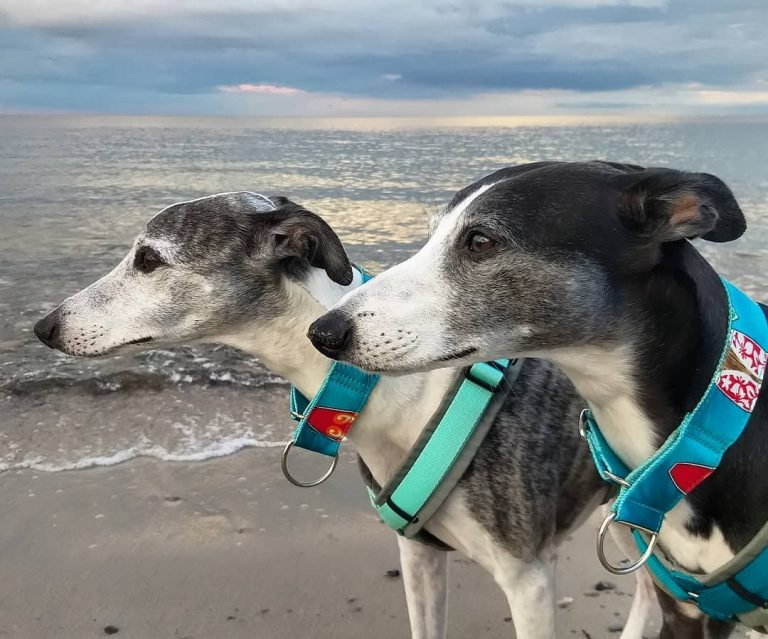 Whippet 101: The Essential Guide