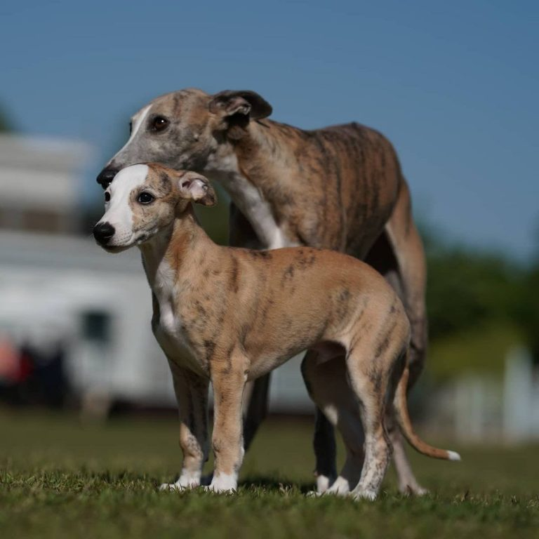 Are Whippets Good Family Pets?