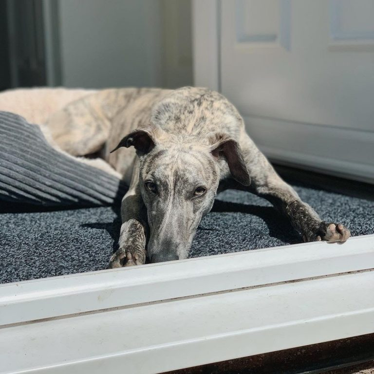 Are Whippets Easy to Train? (9 Training Tips for Whippet Owners)