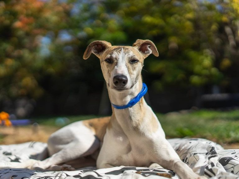 Are Whippets Hypoallergenic? (14 Tips for Allergic Owners)