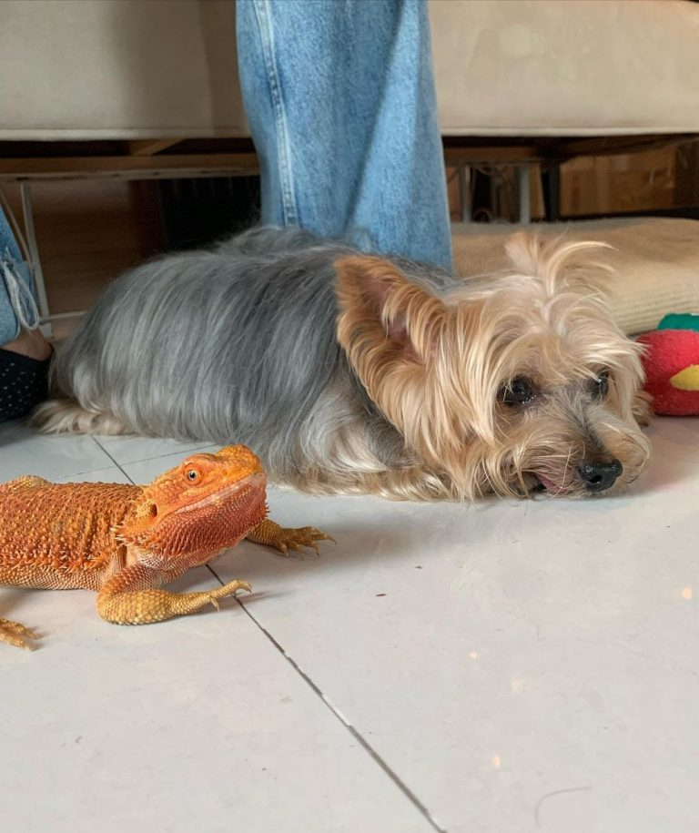 Silky Terrier 101: The Essential Guide