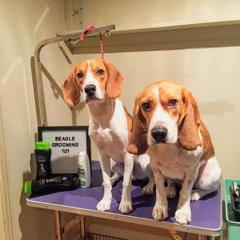How to Cut Beagle Nails- A Guide to Nail Trimming