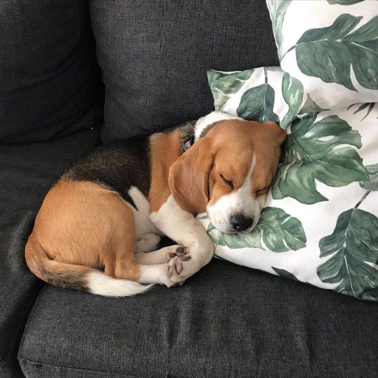How Long Do Beagles Sleep? 6 Positions He Does While Sleeping