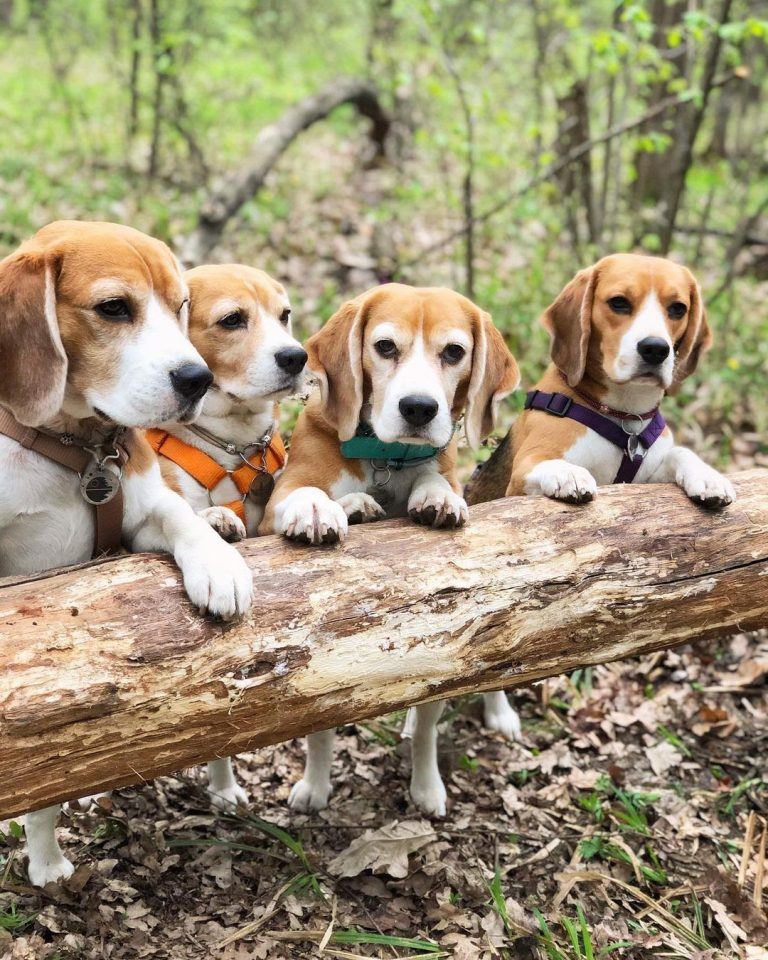 Beagle Kennel Ideas: 6 Things to Consider for Your Dog's Kennel