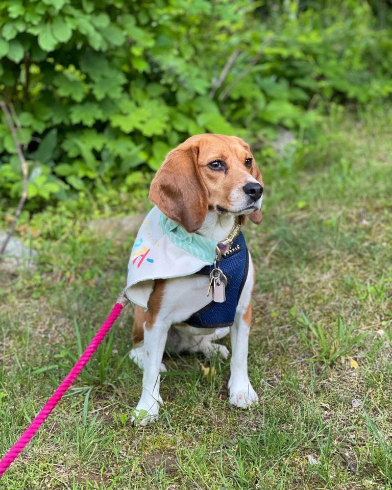 English Beagle vs American Beagle: Physical Characteristics and Differences