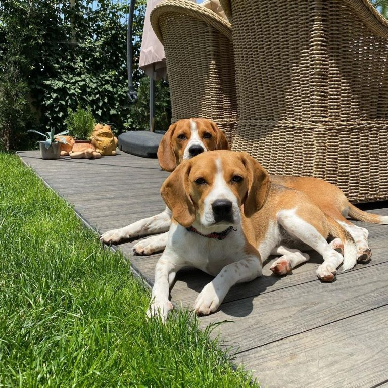 Can You Shave a Beagle? 4 Cons of Shaving a Beagle