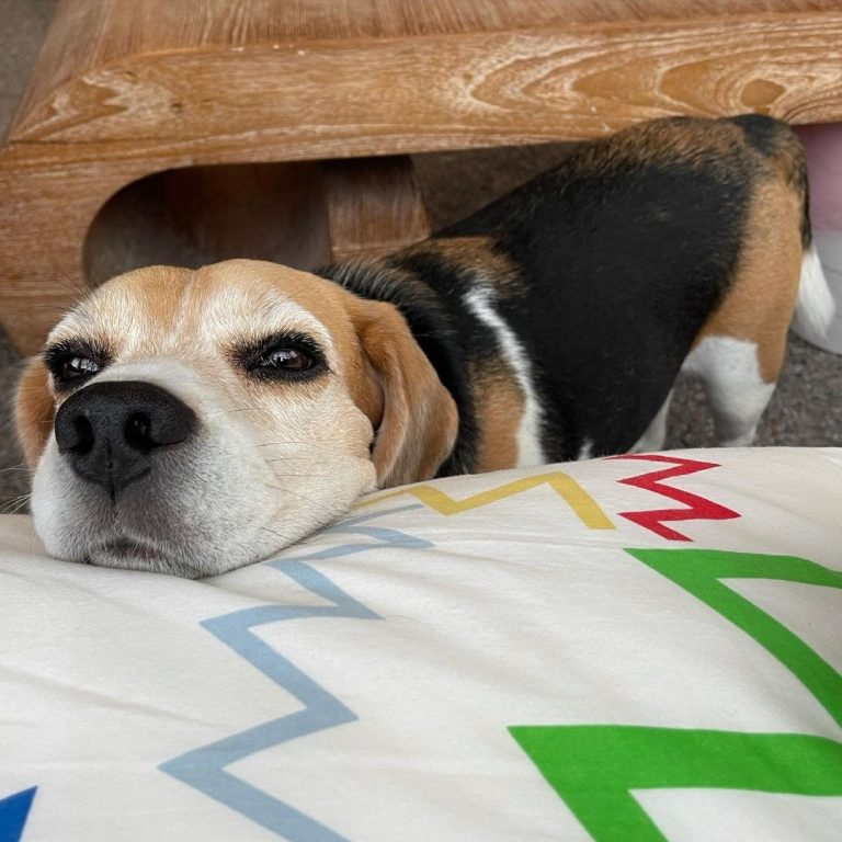 Why Do Beagles Whine? 7 Top Reasons Why Your Beagle Is Whining