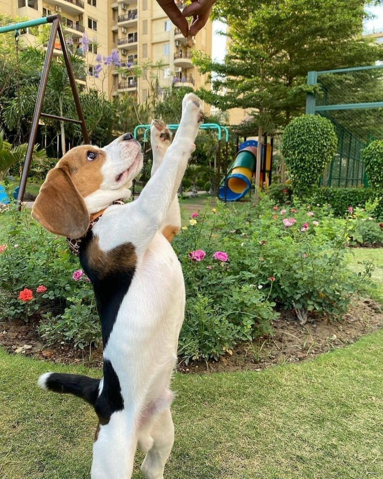 How Hard Is It to Train a Beagle? 7 Tips to Make Beagle Training Easier