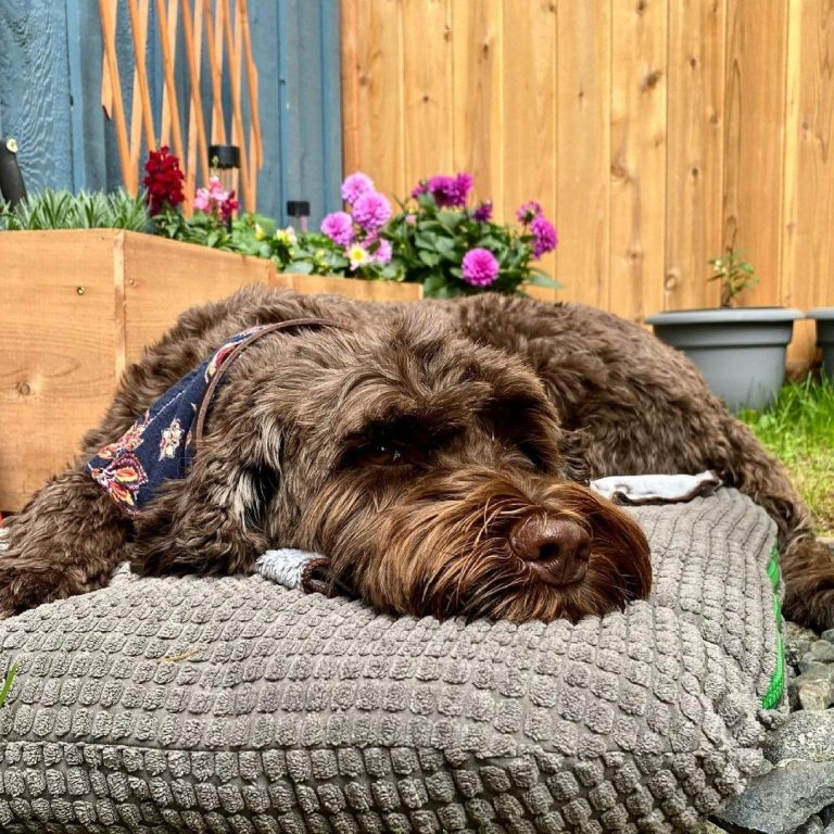 Portuguese Water Dog 101: The Essential Guide