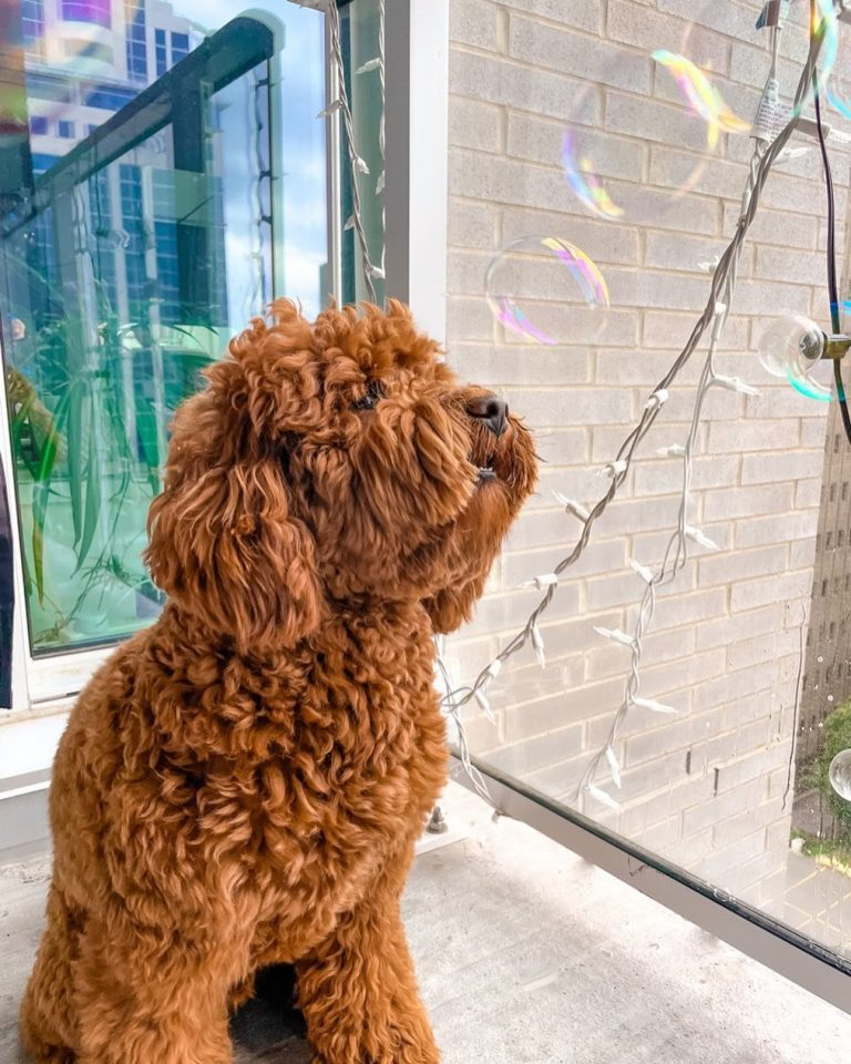 Portuguese Water Dog vs Goldendoodle: Finding the Better Companion