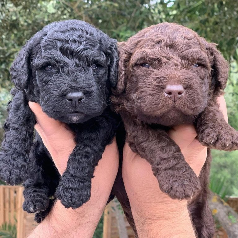 Portuguese Water Dog vs Spanish Water Dog: A Detailed Breed Comparison