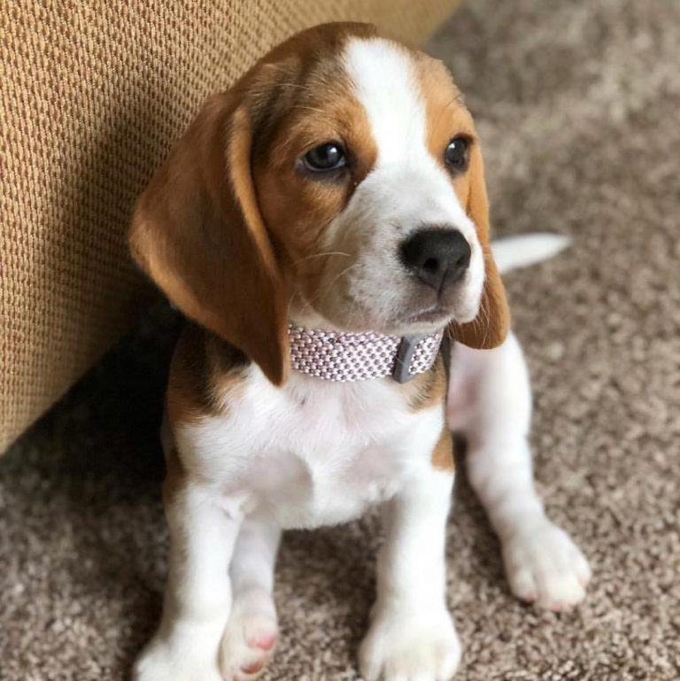 How Much Does a Pocket Beagle Cost? Learning What Impacts the Price
