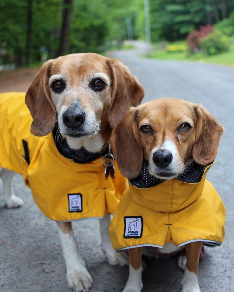 Pocket Beagle vs Regular Beagle: What Are Their Differences?