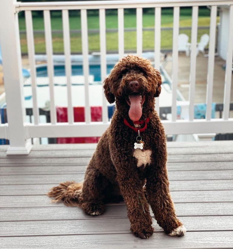 Portuguese Water Dog vs Poodle: Determining the Better Water Retriever