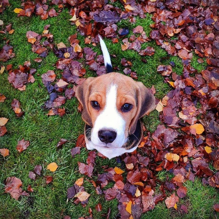How to Make a Beagle Puppy to Sleep at Night?  What to Do When My Beagle Puppy Cries at Night?
