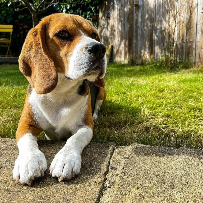 Can a Beagle Be a Service Dog? 5 Traits That Your Beagle Can Be a Service Companion
