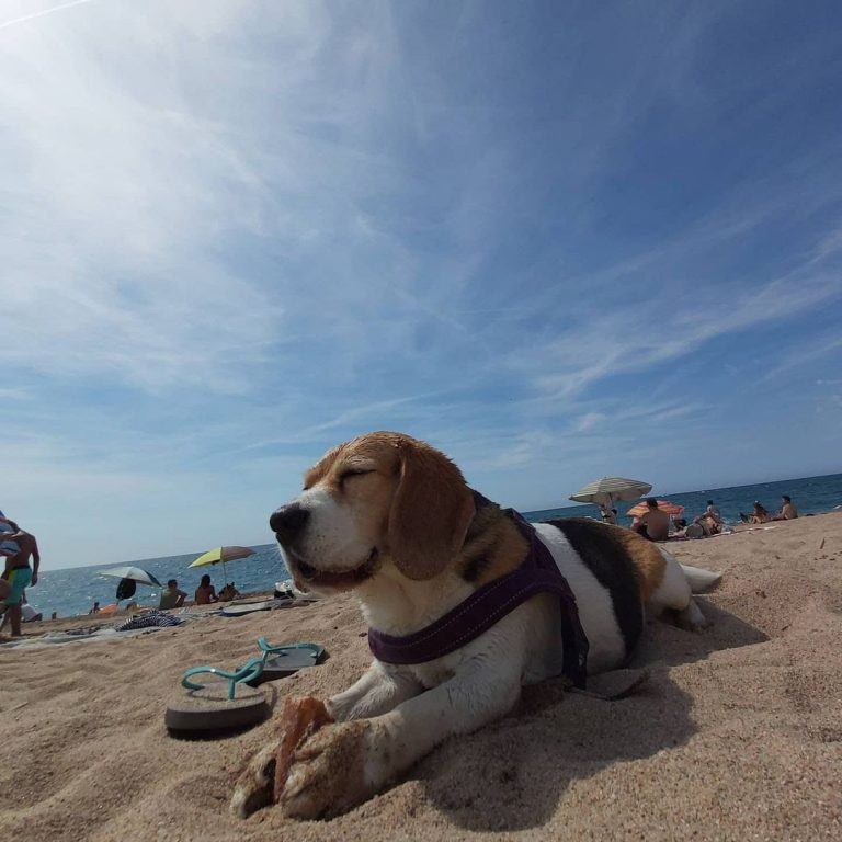 Why Does My Beagle Sleep So Much? Learn to Minimize Beagle Sleeping Habits.