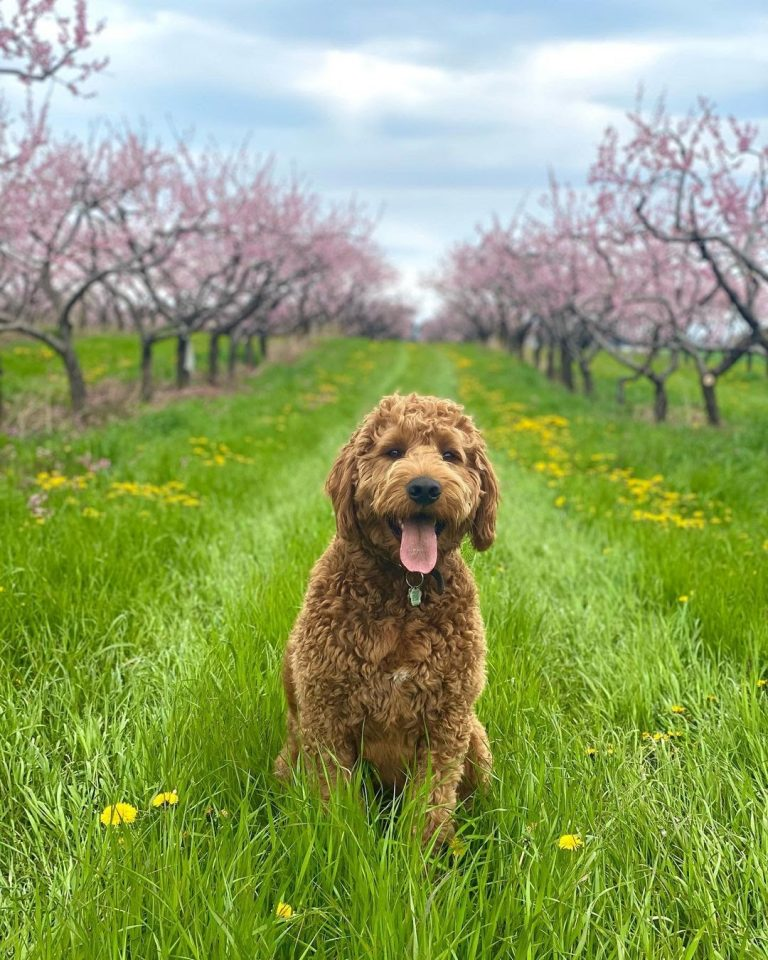 Portuguese Water Dog vs Labradoodle: Which Pet Should You Be Getting?