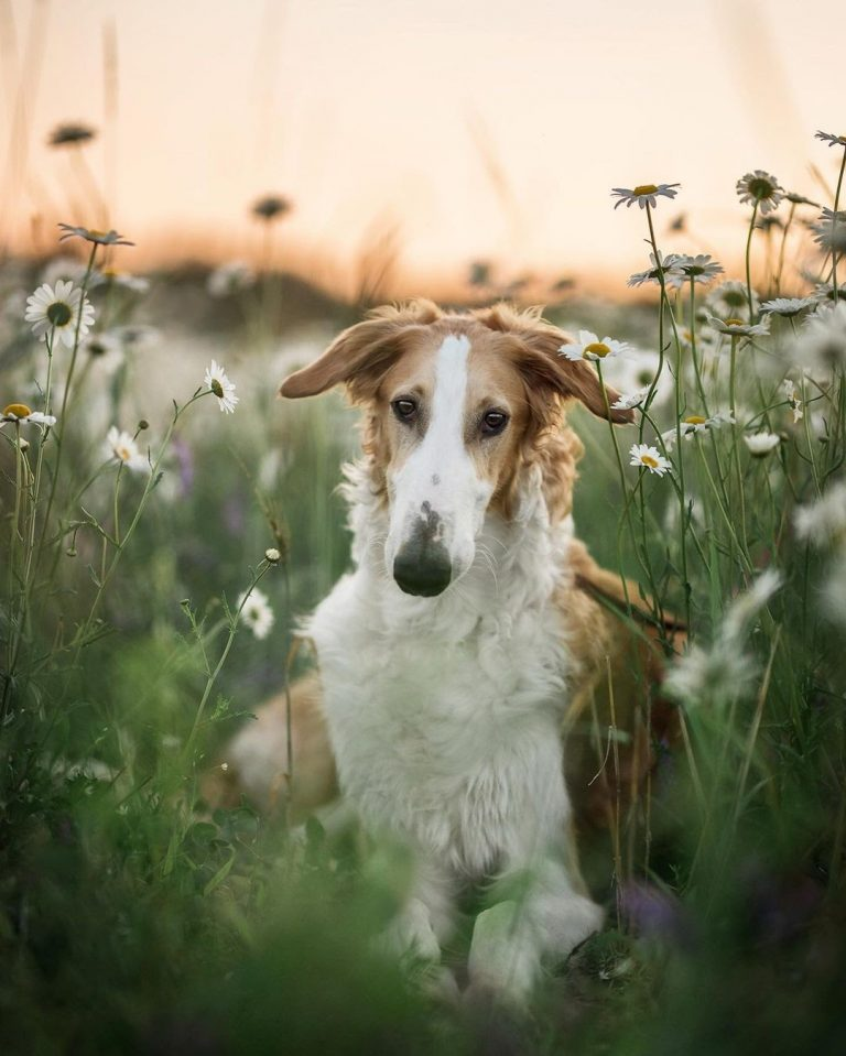 How Much Does a Borzoi Cost? A Price and Ownership Guide