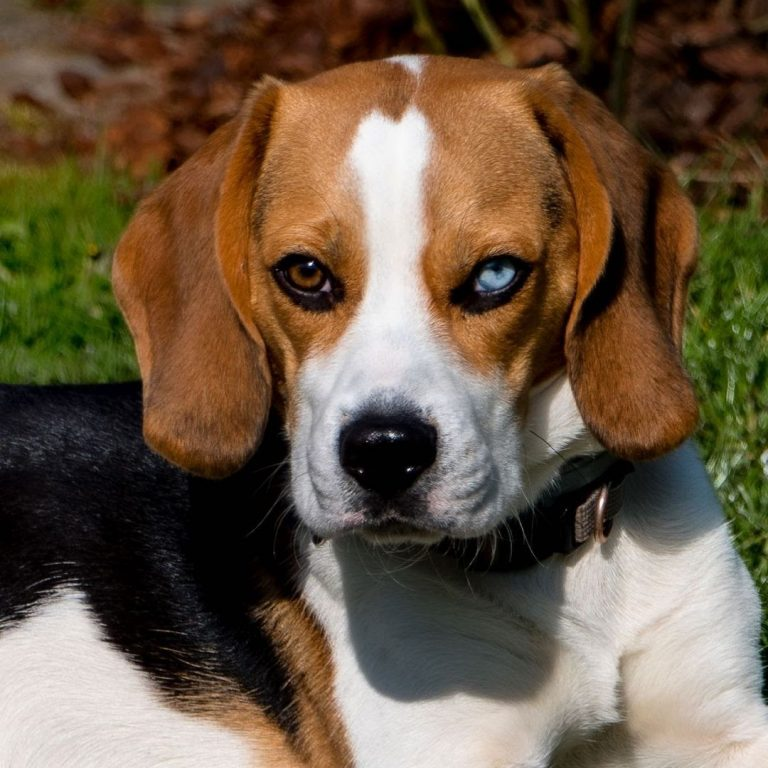 How Big Does a Pocket Beagle Get? 3 Factors That Impact His Growth