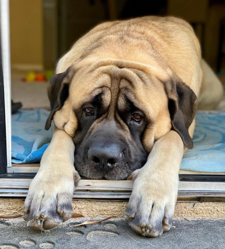 Life Expectancy: For How Long Do English Mastiffs Live?