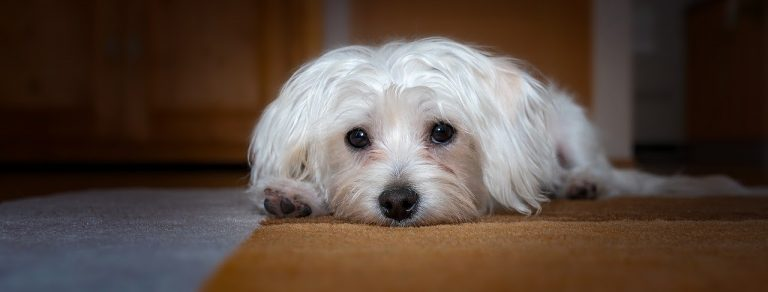 Will a Dog With Bloat Poop? How Can You Tell Your Dog Is Bloated?