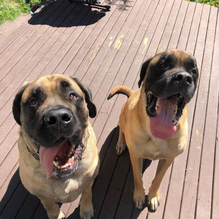 Are English Mastiffs Good With Other Dogs? All You Need to Know!