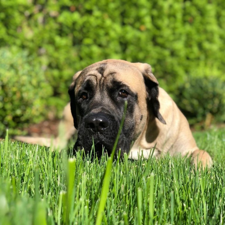 Are English Mastiffs Hypoallergenic? A Guide For Mastiff Owners With Dog Allergies