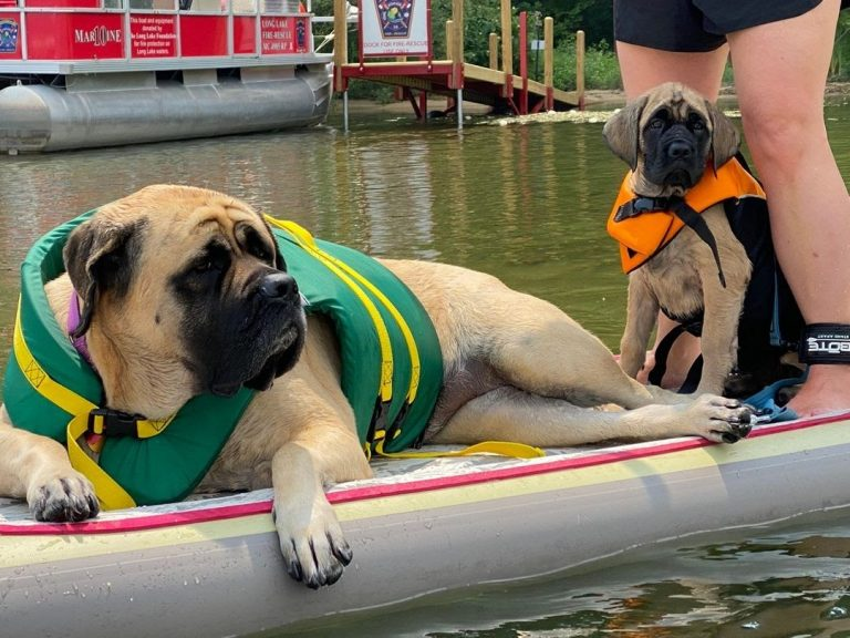 Can English Mastiffs Swim? 7 Tips and Important Facts You Need to Know!
