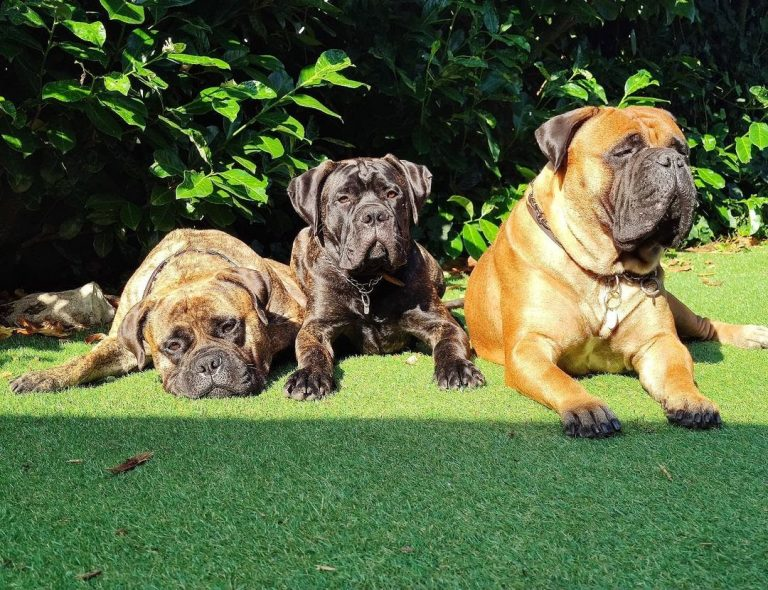 Are Bullmastiffs Good With Other Dogs? Facts You Need to Know