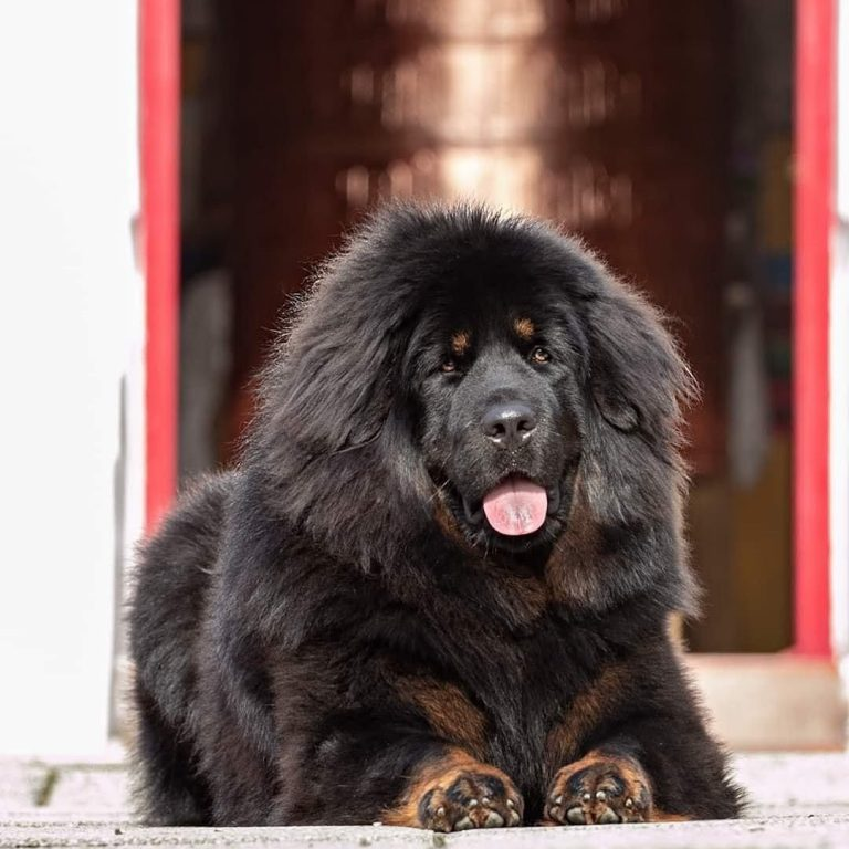 Can You Own a Tibetan Mastiff in the US? All You Need to Know