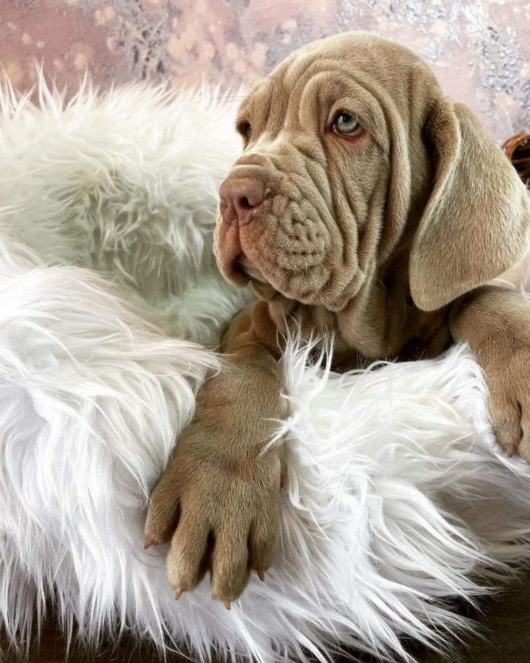 How Much Is a Neapolitan Mastiff? A Puppy Price Guide