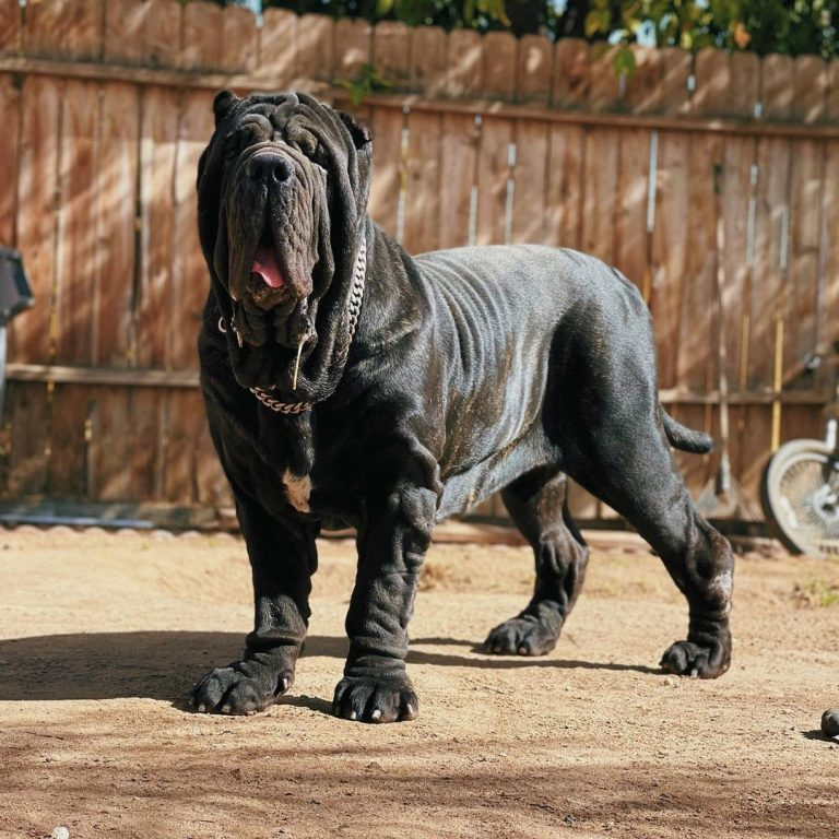 Are Neapolitan Mastiffs Good Guard Dogs? Train Them on How to Be!
