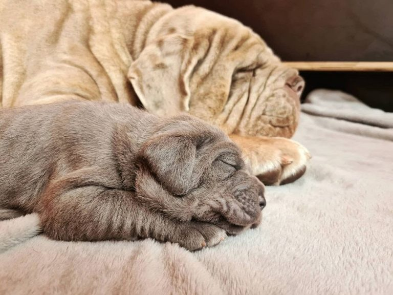 Where Can I Buy a Neapolitan Mastiff? Top 5 Websites You Should Bookmark