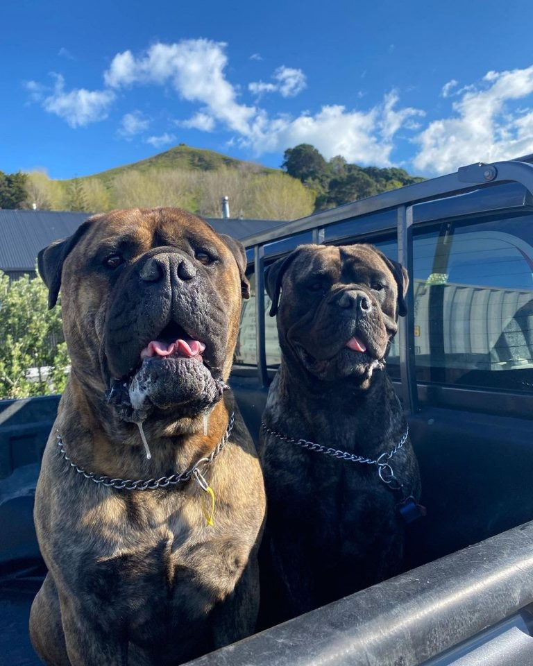 Are Bullmastiffs Good With Cats? Find Out Their Relationship as Pets!