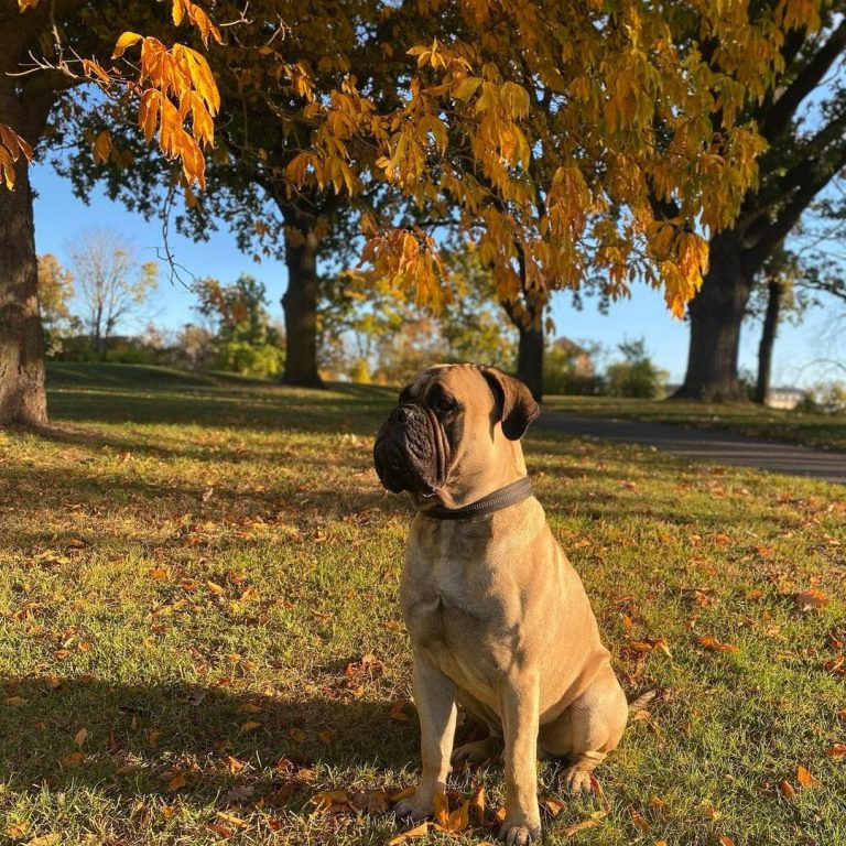 Are Bullmastiffs Good Apartment Dogs? 7 Tips to Consider