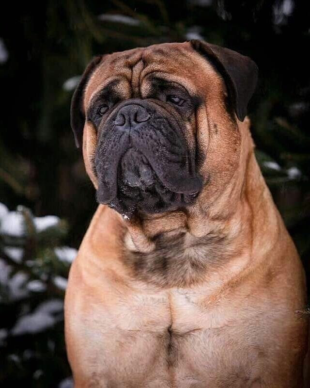 Bullmastiff vs Coyote: Can Your Dog Protect You?
