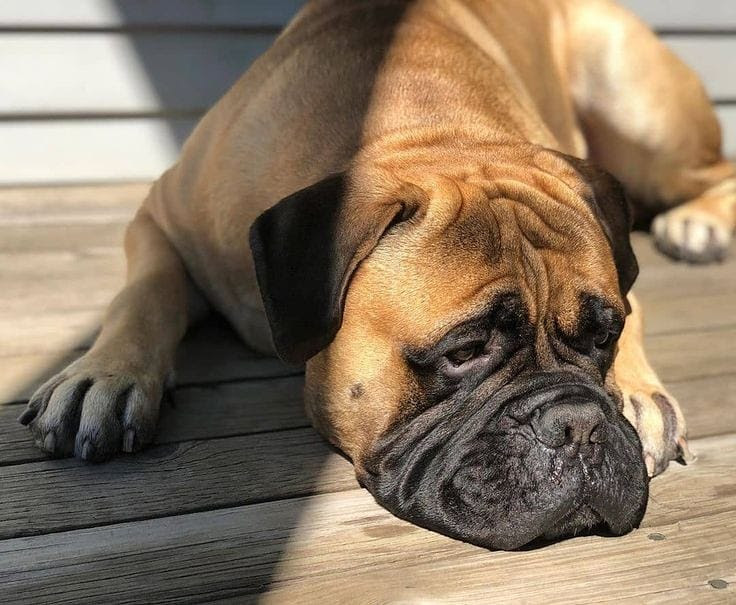 Can Bullmastiffs Be Left Alone? Best Ways to Deal With Anxiety