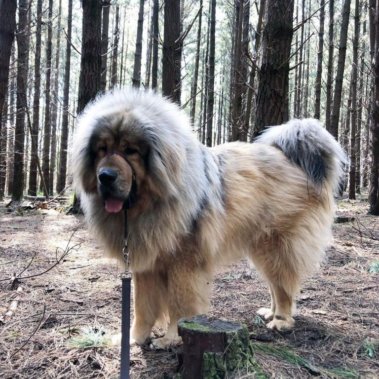 How Big Is a Tibetan Mastiff? Growth Chart and More!