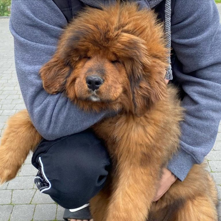 How Much Does a Tibetan Mastiff Weigh? Average Weight Chart and More!