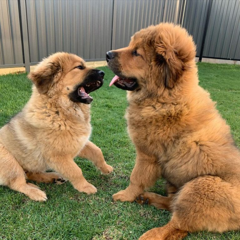 Are Tibetan Mastiffs Dangerous? How to Make Them a Safe Breed